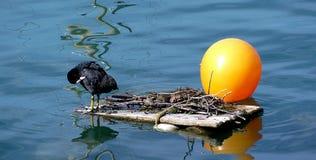 μαύρη πάπια καθαρισμού Στοκ Εικόνες