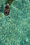 μαύρη πάπια Στοκ Εικόνα