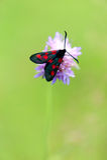 Μαύρη πεταλούδα με τα κόκκινα σημεία στοκ φωτογραφίες