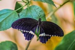 Μαύρη πεταλούδα φτερών στοκ εικόνα