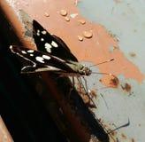 μαύρη πεταλούδα Στοκ Φωτογραφία
