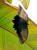 μαύρη πεταλούδα στοκ φωτογραφίες με δικαίωμα ελεύθερης χρήσης