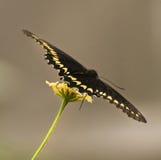 μαύρη πεταλούδα swallowtail Στοκ φωτογραφία με δικαίωμα ελεύθερης χρήσης