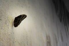 Μαύρη πεταλούδα στον άσπρο τοίχο Στοκ εικόνα με δικαίωμα ελεύθερης χρήσης