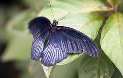 μαύρη πεταλούδα Στοκ Εικόνες