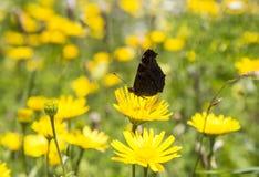 μαύρη πεταλούδα στοκ εικόνα με δικαίωμα ελεύθερης χρήσης