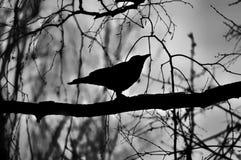 Μαύρη σκιαγραφία ενός κόρακα σε έναν κλάδο στοκ φωτογραφία με δικαίωμα ελεύθερης χρήσης