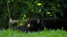 Μαύρη σκωτσέζικη γάτα πτυχών απόθεμα βίντεο