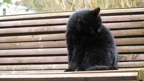 Μαύρη συνεδρίαση γατών σε έναν πάγκο απόθεμα βίντεο