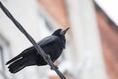 Μαύρη συνεδρίαση κορακιών στα καλώδια στοκ εικόνες
