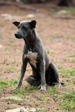 Μαύρη συνεδρίαση σκυλιών που εξετάζει κάτι στοκ εικόνες με δικαίωμα ελεύθερης χρήσης