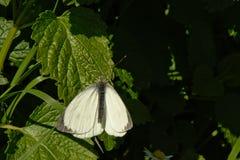Μαύρη φλεβώδης άσπρη πεταλούδα - crataegi Aporia Στοκ Εικόνες