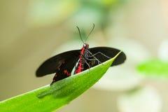 Μαύρη φτερωτή πεταλούδα στοκ εικόνες