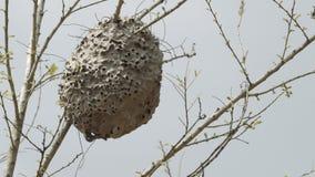 Μαύρη φωλιά μυρμηγκιών