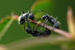 μαύρη φύση μυρμηγκιών Στοκ Εικόνα