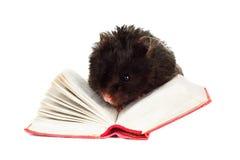 Μαύρη χάμστερ που διαβάζει ένα βιβλίο στοκ εικόνες με δικαίωμα ελεύθερης χρήσης