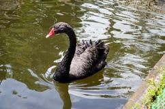 Μαύρη χήνα που επιπλέει σε ένα νερό Στοκ Φωτογραφία