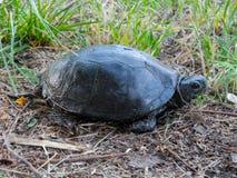 Μαύρη χελώνα στο έδαφος η χλόη ανασκόπησης απομόνωσε το λευκό στοκ εικόνα με δικαίωμα ελεύθερης χρήσης