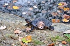 Μαύρη χελώνα Στοκ φωτογραφίες με δικαίωμα ελεύθερης χρήσης