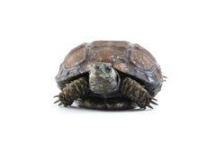 μαύρη χελώνα Στοκ φωτογραφία με δικαίωμα ελεύθερης χρήσης