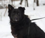 Μαύρη χνουδωτή μιγάς συνεδρίαση σκυλιών στο χιόνι Στοκ Εικόνες