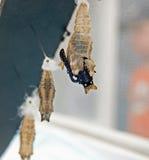 μαύρη χρυσαλίδα swallowtail στοκ εικόνες με δικαίωμα ελεύθερης χρήσης