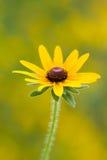 Μαύρη eyed κινηματογράφηση σε πρώτο πλάνο λουλουδιών της Susan Στοκ φωτογραφία με δικαίωμα ελεύθερης χρήσης