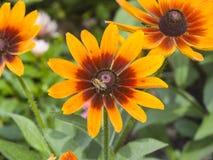 Μαύρη Eyed, κόκκινης και κίτρινης λουλουδιών κινηματογράφηση σε πρώτο πλάνο της Susan, hirta Rudbeckia, εκλεκτική εστίαση, ρηχό D Στοκ Εικόνες
