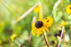 Μαύρη eyed μακροεντολή της Susan το φθινόπωρο Στοκ Φωτογραφίες