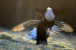 Μαύροι αγριόγαλλοι πάλης Στοκ φωτογραφία με δικαίωμα ελεύθερης χρήσης