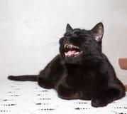 Μαύροι βρυχηθμοί γατών στοκ εικόνες