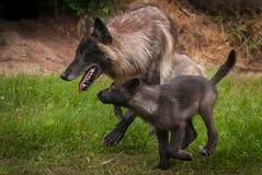Μαύροι γκρίζοι Λύκος Canis λύκων και τρέξιμο κουταβιών που αφήνεται Στοκ εικόνα με δικαίωμα ελεύθερης χρήσης