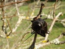 Μαύροι γρύλοι ένα που κυνηγιούνται και που σουβλίζονται ελεύθερη απεικόνιση δικαιώματος