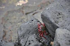 Μαύροι ηφαιστειακοί βράχοι και καβούρι Στοκ φωτογραφία με δικαίωμα ελεύθερης χρήσης