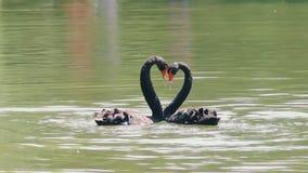 Μαύροι κύκνοι που δημιουργούν μια μορφή καρδιών στη λίμνη απόθεμα βίντεο