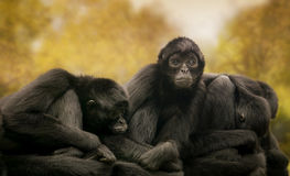 Μαύροι πίθηκοι αραχνών Στοκ εικόνα με δικαίωμα ελεύθερης χρήσης