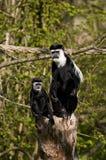 μαύροι πίθηκοι δύο colubus λευ&kapp Στοκ φωτογραφία με δικαίωμα ελεύθερης χρήσης