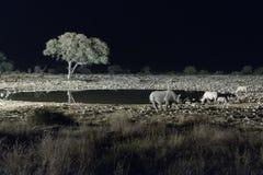 Μαύροι ρινόκεροι σε τεχνητά αναμμένο waterhole Στοκ Φωτογραφίες