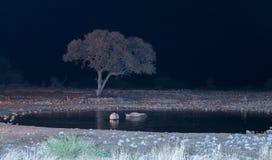 Μαύροι ρινόκεροι σε τεχνητά αναμμένο waterhole Στοκ Εικόνες