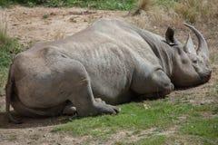 Μαύροι ρινόκερος & x28 Diceros bicornis& x29  Στοκ Εικόνα