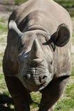 Μαύροι ρινόκερος & x28 Diceros bicornis& x29  Στοκ Εικόνες