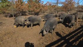 Μαύροι χοίροι σε ένα αγρόκτημα φιλμ μικρού μήκους
