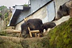 μαύροι χοίροι Στοκ εικόνα με δικαίωμα ελεύθερης χρήσης
