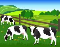 Μαύρος-άσπρες αγελάδες στο λιβάδι Στοκ εικόνες με δικαίωμα ελεύθερης χρήσης