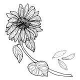 Μαύρος άσπρος ηλίανθος σε έναν κλάδο με τα φύλλα Ελεύθερη απεικόνιση δικαιώματος