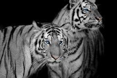 Μαύρος & άσπρος δύο τιγρών Στοκ εικόνες με δικαίωμα ελεύθερης χρήσης