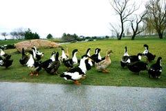Μαύρος-άσπρος-chested πάπιες στην πράσινη χλόη Στοκ Φωτογραφίες