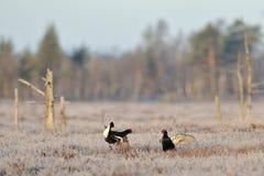 μαύρος αγριόγαλλος πάλη&si Στοκ Εικόνα