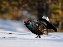 Μαύρος αγριόγαλλος Στοκ φωτογραφία με δικαίωμα ελεύθερης χρήσης