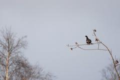 Μαύρος αγριόγαλλος Στοκ Φωτογραφία